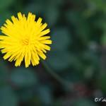 Minimalismo en la naturaleza: una flor amarilla