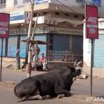 Viaje fotográfico a la India: Las vacas sagradas